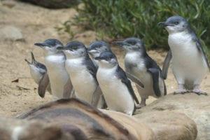 Penguin Parade Melbourne day trip