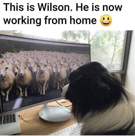 Dog working from home border collie coronavirus meme