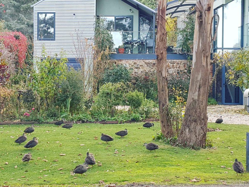 ducks trentham victoria
