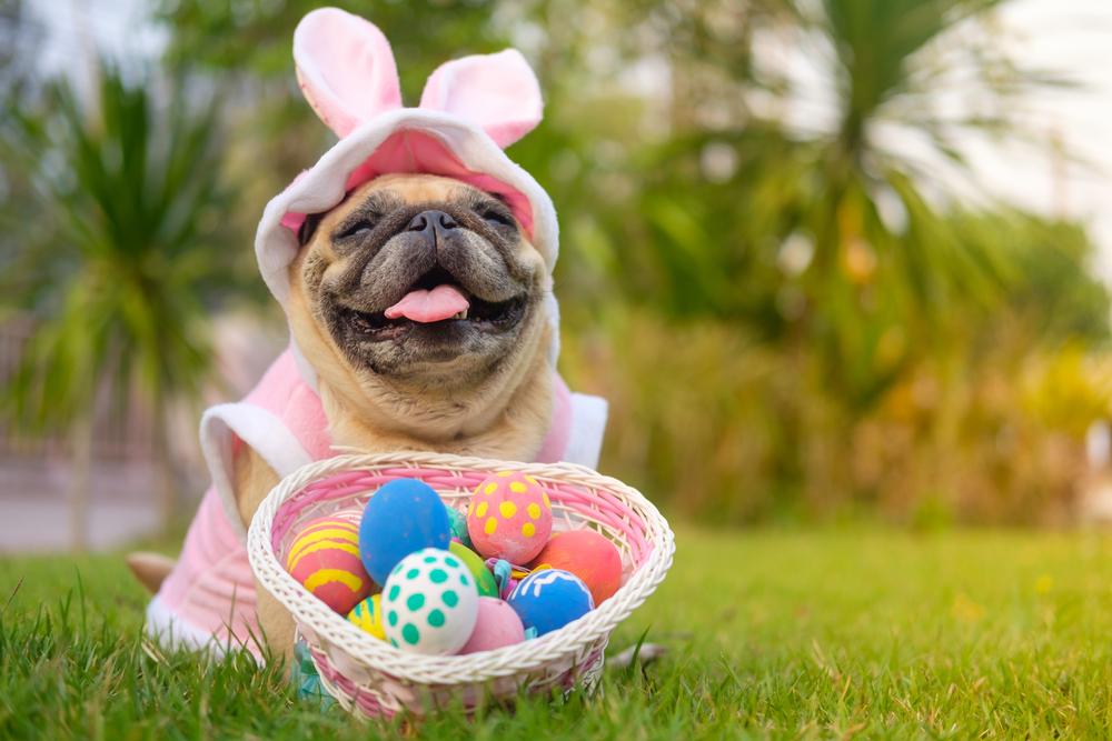 easter costume pet dog pug