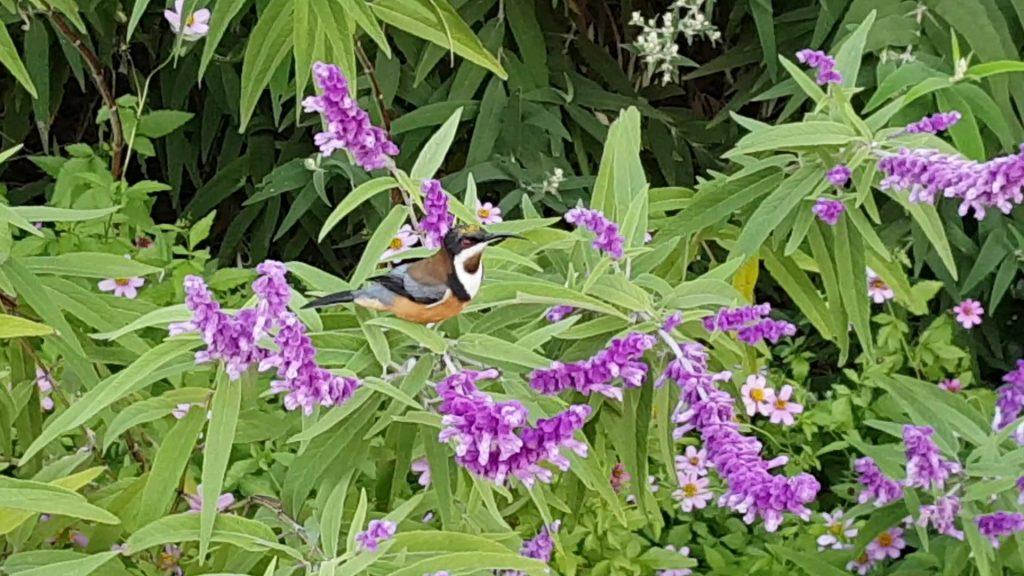 royal botanic gardens melbourne bird